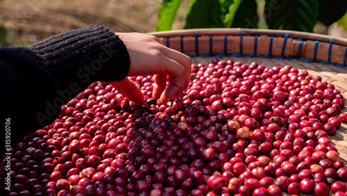Photo Farmer harvesting coffee berry in the plant