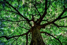 Grand Old Tree With Green Canopy