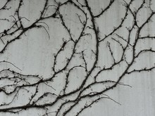 Dry Branches Of The Plant Wrap...