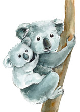 Cute Koalas Mom And Baby On An...