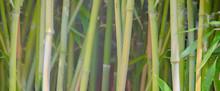 Horsetail Grass (Equisetum Hye...