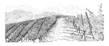 Hill Of Vineyard Landscape Wit...