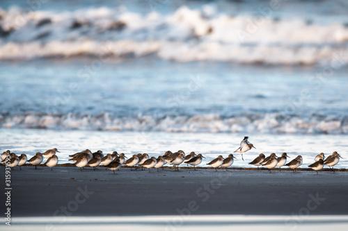 Valokuvatapetti Flock of little stint at sea