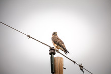A Hawk On A Telephone Pole