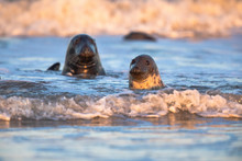 Grey Seals In Water At Sunset ...