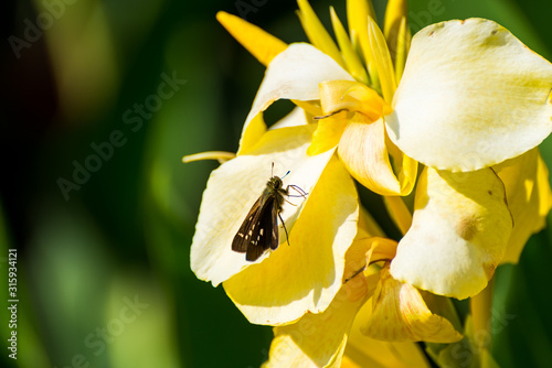 Photo A butterfly on the Yellow canna indica, commonly known as Indian shot, African arrowroot, edible canna, purple arrowroot, Sierra Leone arrowroot, is a plant species in the family Cannaceae