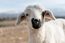 Cute White Lamb With Black Nos...