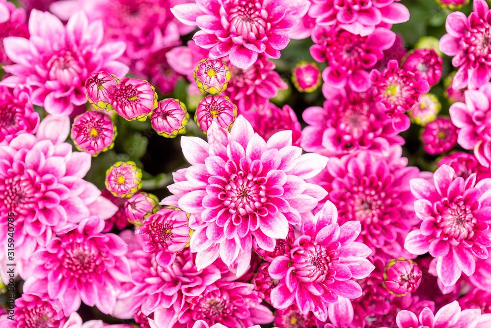 Fototapeta Beautiful chrysanthemum flower in garden for backdrop use