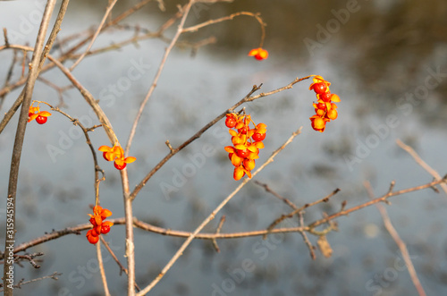 Photo Bright orange and yellow berries of the American Bittersweet vine, Celastrus scandens, against a soft focus winter background