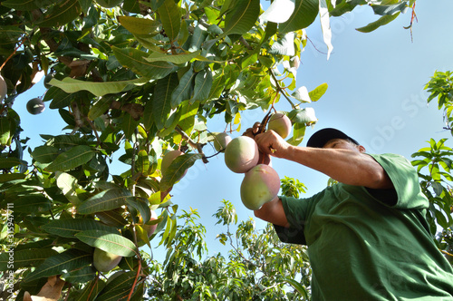 Photo Agricultural worker harvesting mango in a mango tree