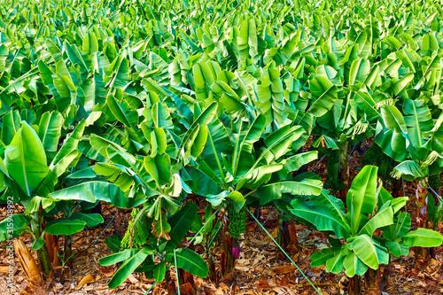 Fototapeta Banana trees in the garden obraz
