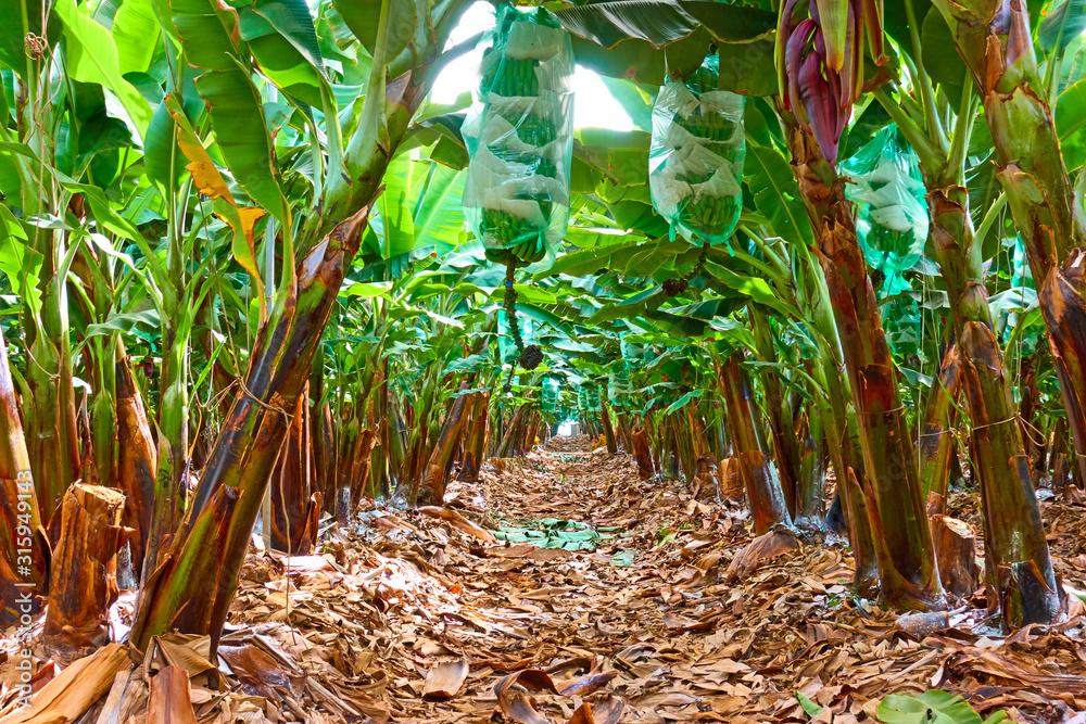 Fototapeta Rows of trees in the banana garden