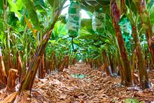 Rows Of Trees In The Banana Ga...