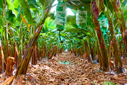 Obraz Rows of trees in the banana garden - fototapety do salonu