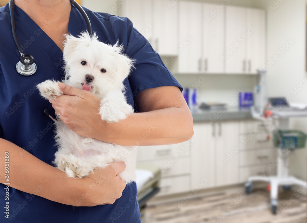 Fototapeta Female Doctor or Nurse Veterinarian with Small Puppy In Office
