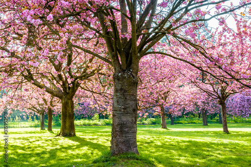 A row of blossoming Japanese cherry trees in a grassy meadow by a sunny spring afternoon, with branches laden with clusters of pink flowers Fototapeta