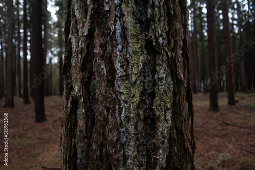 Fototapeta larch tree trunk in a forrest