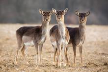 Three Fallow Deer, Dama Dama, ...
