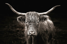 Highland Cow In Black & White