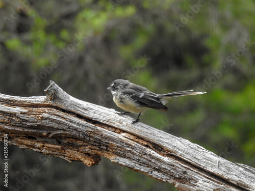 Grey Fantail in the Blue Mountians of Australia