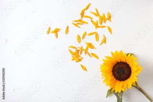 Fototapeta Yellow sunflower on a white background. Yellow Sunflower Bouquet, Autumn Concept, Top View, Space for Text. isolated on white background. Sunflower blooming. Bright yellow flowers obraz