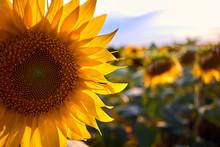 Closeup Beautiful Sunflower Fi...