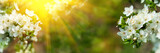 Banner 3:1. Cherry blossom in full bloom with sun lights against defocused background. Spring background. Copy space. Soft focus