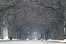 Winter Alley In The Park. Tree...