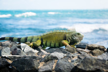 An Iguana On The Rocks By The ...