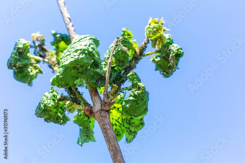 Aphid eats leaves of a tree. Tree disease Wallpaper Mural