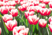 Flower Bed Of Beautiful Tulips. Beautiful Spring Tulips Flowers In Park. Sunny Day