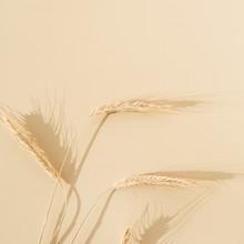 Ears Of Rye, Wheat On Pastel B...