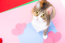 Adult Cat On A Pink Background With Hearts Looks In The Frame.
