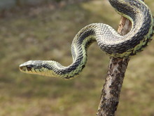 Closeup Of A Garter Snake