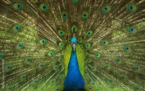 peacock Tablou Canvas