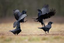 Common Raven, Corvus Corax, No...
