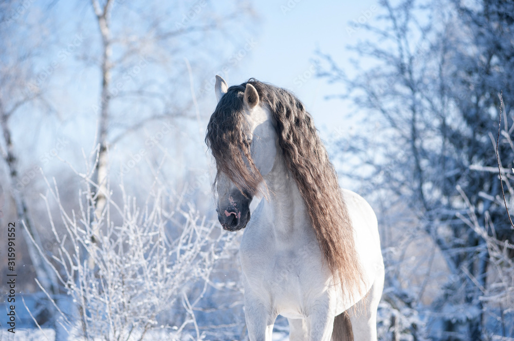 Fototapeta Andalusian horse winter portrait