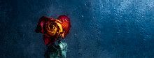 Dried Orange Rose. Beautiful Faded Flower Through The Glass With Rain Drops. Sad Love Concept. Copy Space, Toned In Blue, Banner