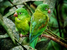 Green Parrot Couple With Red B...