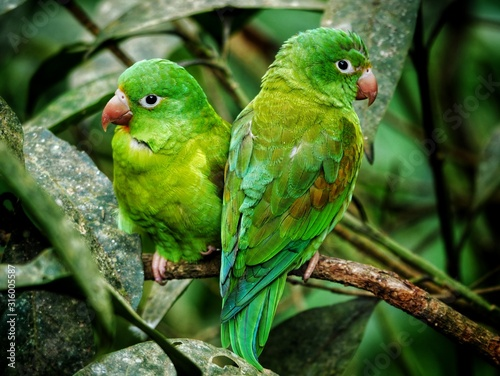 Fototapeta Green parrot couple with red beak in Costa Rica in a tree between green leaves i