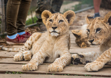 Adorable Young Lions Lying And...