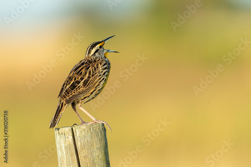 Valokuvatapetti Eastern Meadow Lark singing on fence post