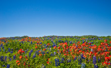 Texas Bluebonnets And Indian P...