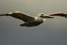 Male Brown Pelican (Pelecanus ...