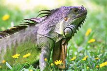 Iguana, Lizard, Reptile, Anima...