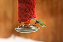 Male Anna's Hummingbird, Calyp...