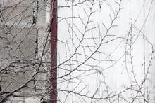 Dry Vine Tree On Abandoned Wall