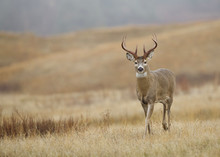 Trophy Class Whitetail Buck Deer In A Meadow During The Fall Hunting Season