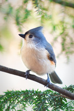 Tufted Titmouse Sitting On A B...