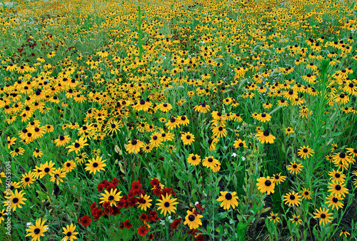 Obraz na plátne  Landscape of a wildflower meadow of black-eyed susans inlight fog, Michigan, USA